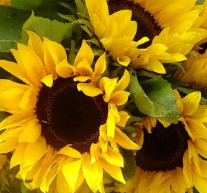 sunflowers-amy-vangsgard